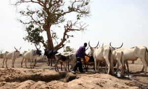 A Fulani herdsman waters his cattle on a dusty plain in Adawama state.