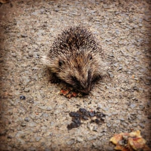 Young hedgehog scavenging a bacon sandwichI came across this little guy whilst cycling home in St Leonard's Lane, Mitford, Northumberland. He wasn't bothered about me getting too close at all, and seemed to be eating the remains of a bacon sandwich that had been thrown from a car. I moved it off the road so hopefully he wouldn't get squashedPhotograph: Keith Stephen/GuardianWitness