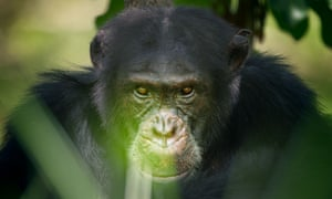 David, the embattled alpha male chimpanzee whose struggles were the focus of Dynasties.