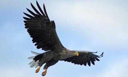 A white-tailed sea eagle.