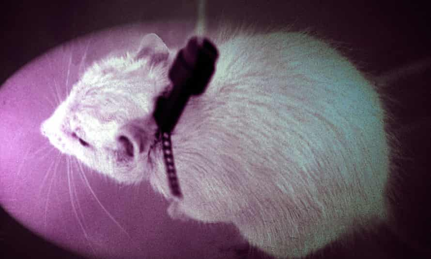 Mice are widely used in scientific research and are typically euthanized after experiments but rarely in such numbers as in the past few months.