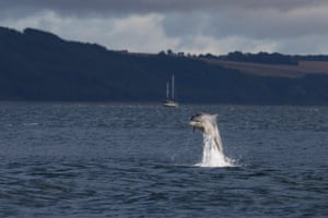 Bottlenose dolphins breaching in the waters of the Moray Firth, near Chanonry Point, in the Scottish Highlands