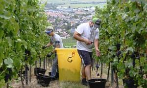 Grape pickers wear masks in the Alsace region of France.