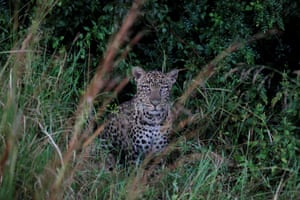 A female leopard is seen at the Ruma National park, Nyanza province, western Kenya.
