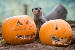 A meerkat stands behind a pair of carved pumpkins during preparations for Halloween at Bristol Zoo
