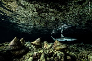 Darkness falls on the remote coral Fakarava Atoll in French Polynesia, the molluscs begin to move - large topshells spend the day hiding in crevices among corals