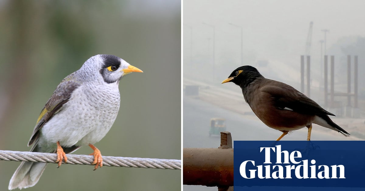 Mynas v miners: they might be swooping menaces but they're not all