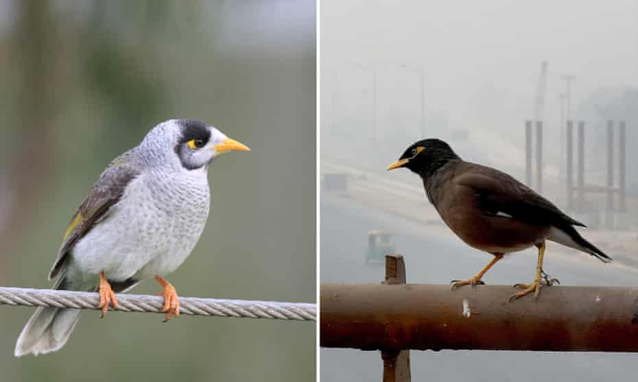A composite showing a native noisy miner, left, and an Indian myna, right.