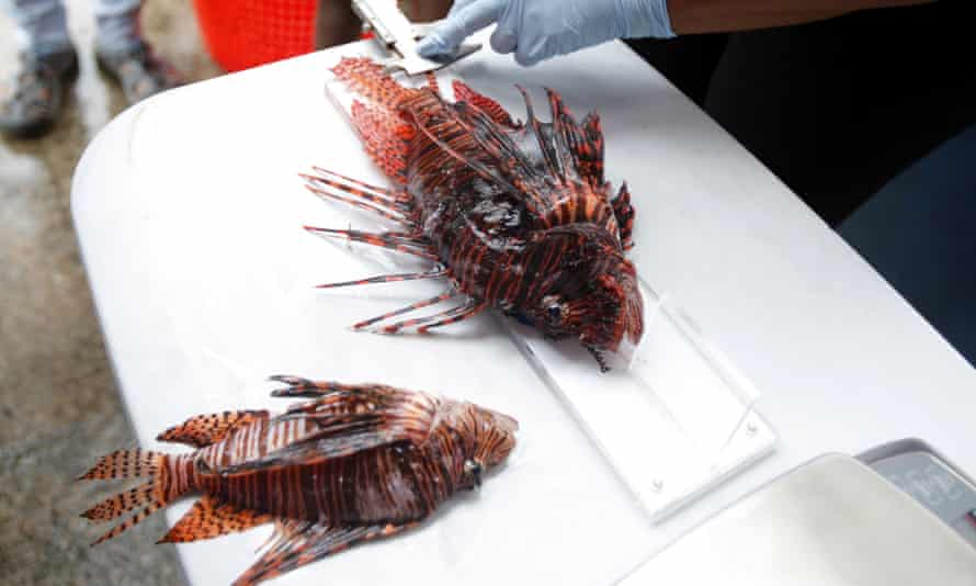 A person weighs and measures a lionfish during a fishing tournament held in the Caribbean town of Portobelo, 90km north of Panama City, Panama