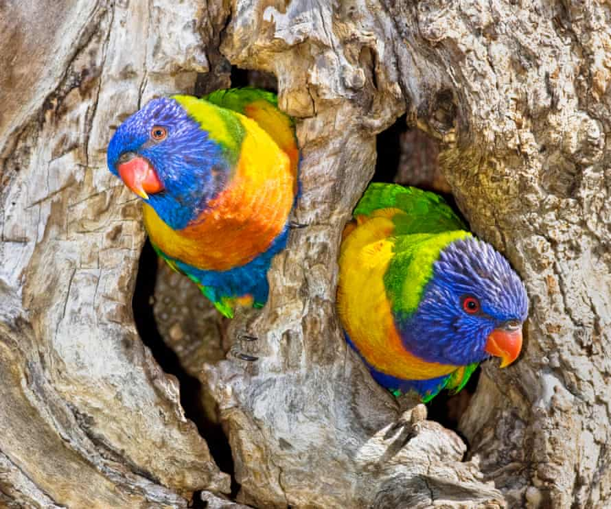 It is not uncommon to see sulphur-crested cockatoos in dispute with rainbow lorikeets over a hollow