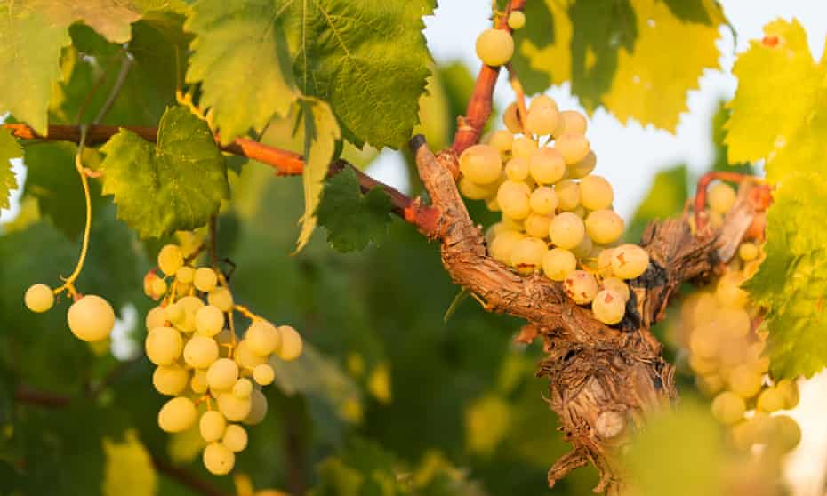 Fiano grapes