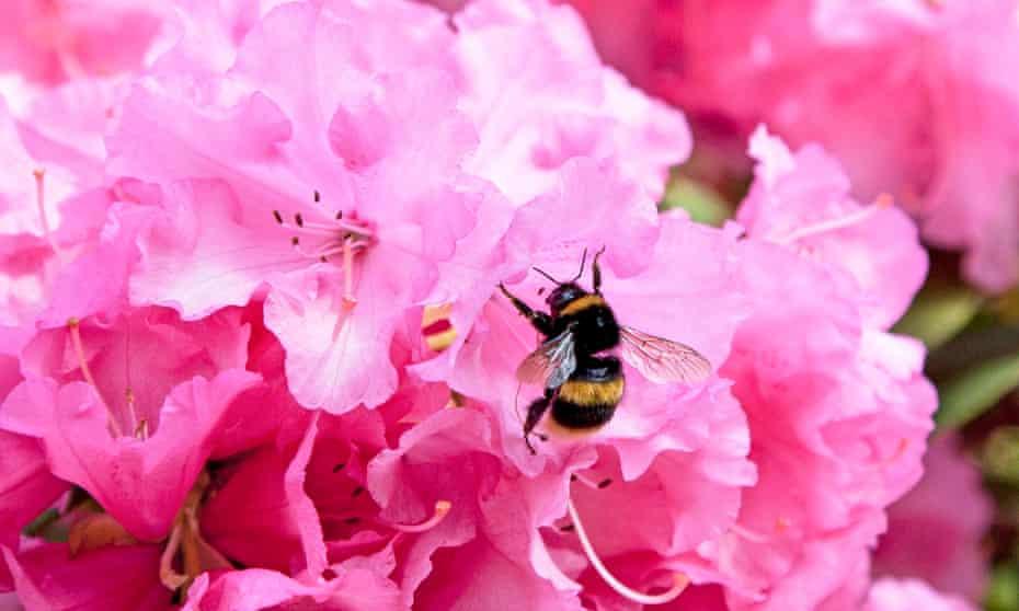 A buff tailed bumble bee on an azalea flower