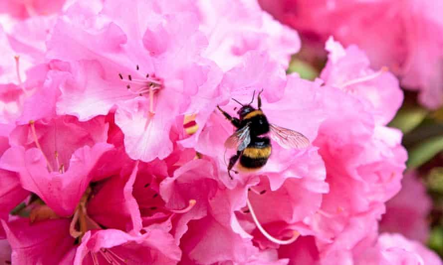A buff-tailed bumble bee on an azalea flower