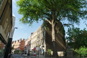 The Marylebone Elm in Westminster, London. Standing at the top of Marylebone High Street, this 30-metre elm is one of the few to survive both the bombing of the second world war and Dutch elm disease, both of which changed the landscape of the city
