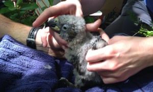 A kaka chick in Wellington. 'People are trying to do the right thing but it is resulting in this horrible condition.'