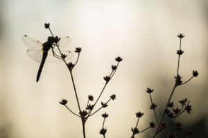 A dragonfly rests in the early morning over the vast expanse of bog in Scotland's Flow Country.