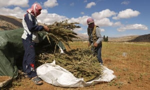 Syrian refugees collect cannabis plants in a field in the village of Yammoune in Lebanon's Bekaa Valley.