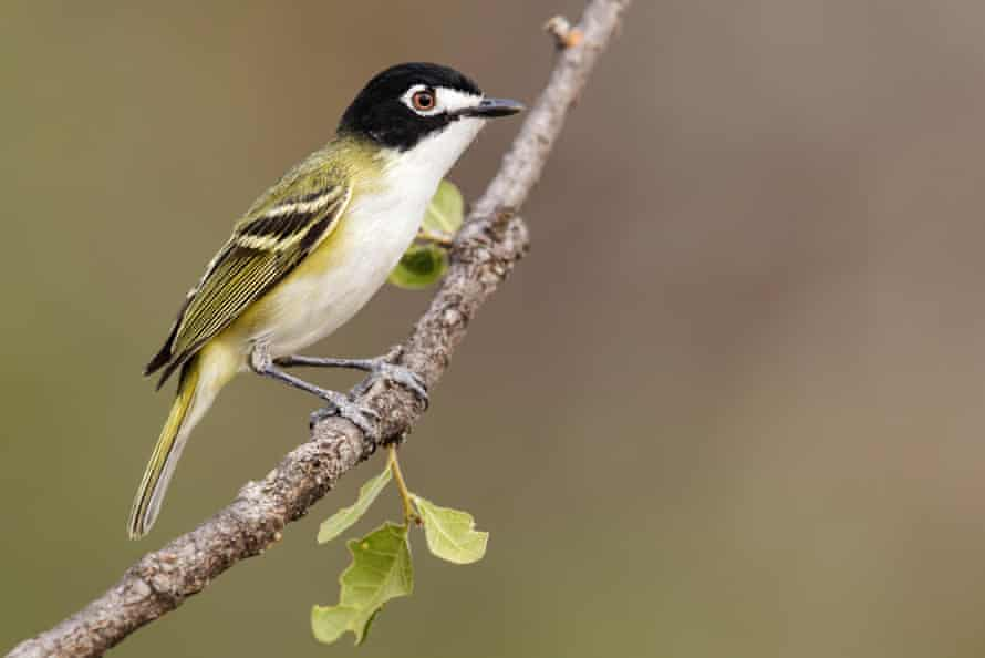 Adult male black-capped vireo in Texas.