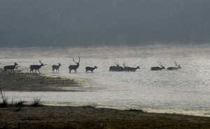 A herd of spotted deer cross the Rapati river in Chitwan national park in Nepal