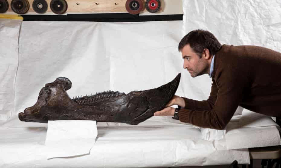 Erich Fitzgerald, senior curator of palaeontology at Melbourne Museum, looking at the lower jaw of the Triceratops.