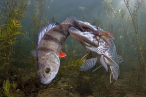 A pike tries to eat a large perch