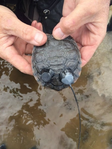 A radio tracker attached to one of 12 western swamp tortoises released into the wild at Moore river, north of Perth