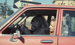 Penny Patterson has looked after Koko since she was six months old.