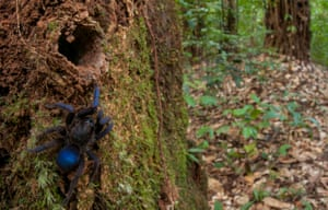 A cobalt-blue tarantula – one of 31 species discovered in the Guyana rainforest