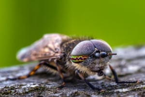 Close-up of a notch-horned cleg
