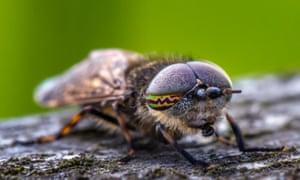 A Notch-horned Cleg,