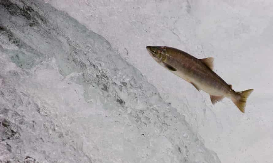 The modified salmon is ready for market in 16 to 18 months rather than the up to three years needed for conventional salmon.