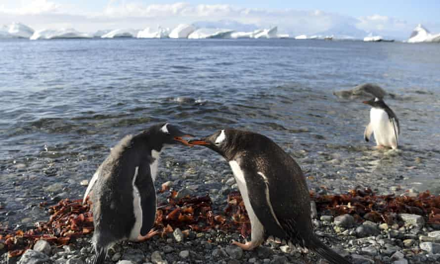 A Gentoo penguin feeds its chick in Cuverville Island, Antarctica