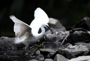 An egret catches a loach at Xihu Park in Fuzhou, southeast China