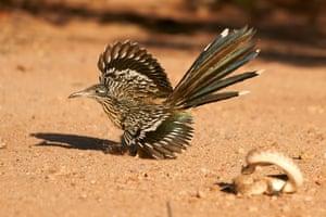 Dynamic ecosystems category winner - The Roadrunner's Rattler Dance by Peter Hudson (Penn State University)