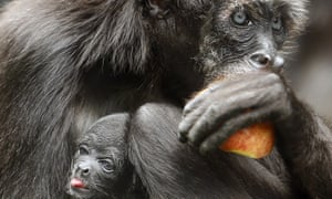 A brown spider monkey with her baby in Santa Fe zoo, Medellín, Colombia