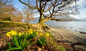 Wild daffodils at Glencoyne, Ullswater, the location made famous by Wordsworth's poem, I wandered lonely as a cloud.
