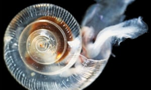An unhealthy pteropod shows effects of ocean acidification including ragged, dissolving shell ridges on its upper surface, a cloudy shell, and severe abrasions and weak spots.