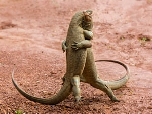 Two komodo dragons appear to dance