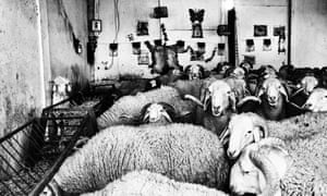 The brutal world of sheep fighting: the illegal sport