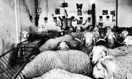 sheep fighting in Algeria