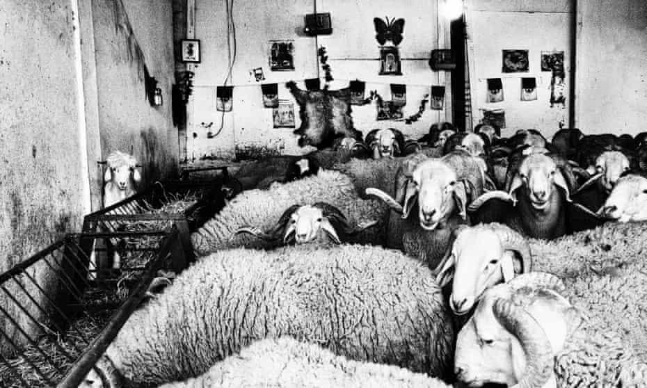 sheep fighting in Algeria