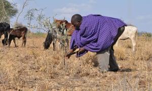 Sayian Leparmai tends an acacia tree in his grazing field in Kenya's semi-arid Baringo county, which borders Nakuru county.