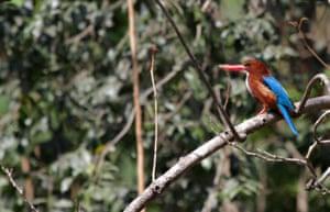 White-throated kingfisher in Pune, Maharashtra, India