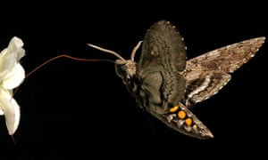 A hawkmoth collecting nectar.