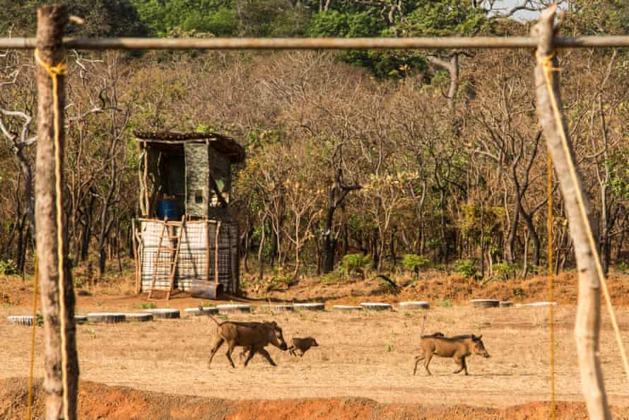 A family of warthogs runs across the airstrip at the main base in Chinko.