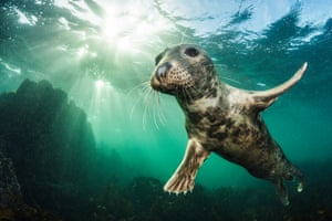 Coast and marine highly commended (2018): Ta Da! (Grey seal, Halichoerus grypus) by Kirsty Andrews, Northumberland