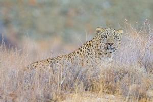 A Persian leopard in  Iraqi Kurdistan
