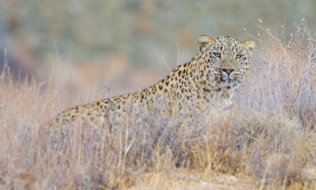 Last chance for the Persian leopard: the fight to save Iraqi Kurdistan's forests