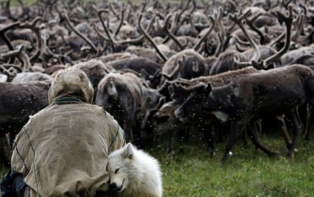 A Nenets tribesman sits in front of a herd of reindeers on the Yamal peninsula, north of the polar circle.