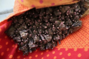 Fruit bats hang in a cage at a bat shelter in Elah Valley, Israel. Animal activist Nora Lifschitz set up the shelter to help nurse injured bats back to health